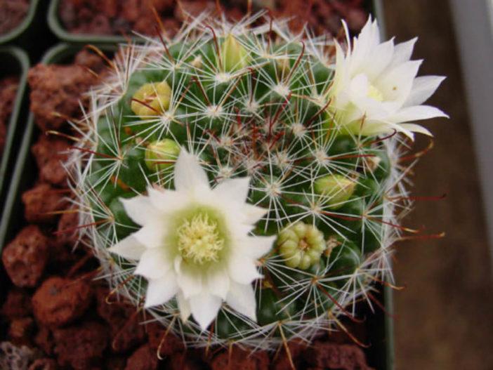 Mammillaria crinita (Pincushion Cactus)