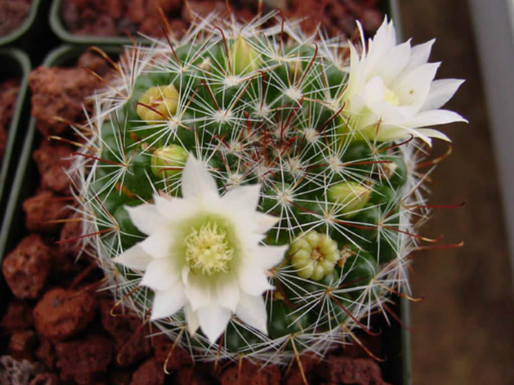 Mammillaria Crinita Pincushion Cactus World Of Succulents