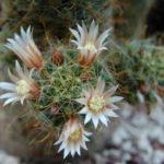 Mammillaria crinita subsp. wildii (Fishhook Pincushion Cactus)