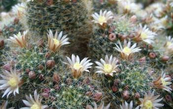 Mammillaria crinita subsp. wildii - Fishhook Pincushion Cactus
