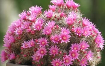 Mammillaria zeilmanniana (Rose Pincushion Cactus)