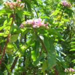 Pereskia grandifolia - Rose Cactus