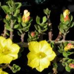 Pereskiopsis diguetii (Alfilerillo)