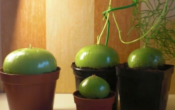 Bowiea volubilis - Climbing Onion