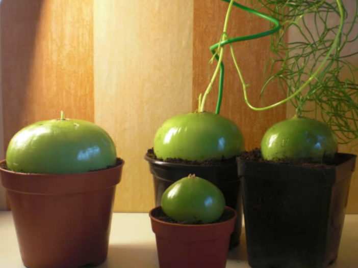 Bowiea volubilis (Climbing Onion)
