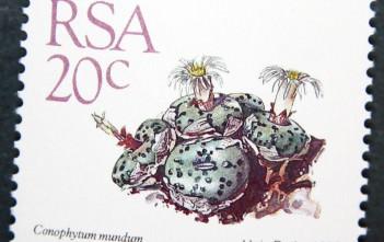 Conophytum mundum-South Africa-1988