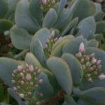 Crassula arborescens ssp. undulatifolia 'Blue Bird'