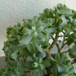 Crassula arborescens subsp. undulatifolia (Ripple Jade)