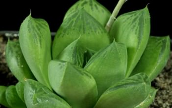 Haworthia cuspidata - Star Window Plant