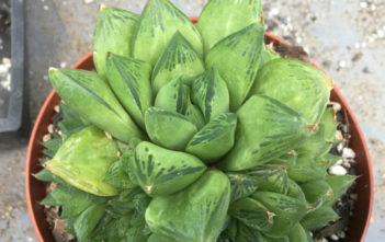 Haworthia cuspidata (Star Window Plant)