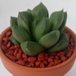 Haworthia cuspidata (Star Window Plant)