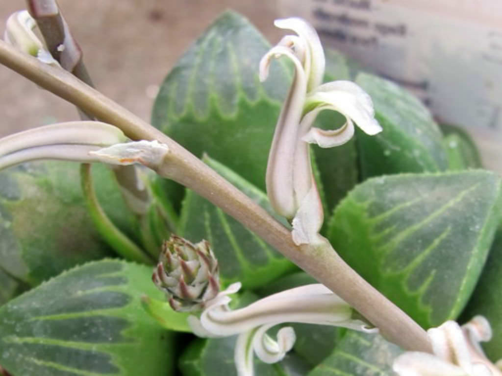 Star Cactus Haworthia Retusa