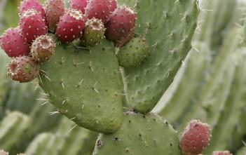 Place of the Prickly Pear Cactus
