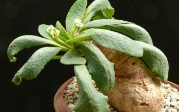 Euphorbia primulifolia