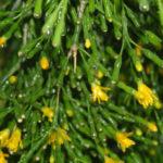 Hatiora salicornioides (Dancing Bones)