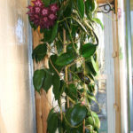Hoya macgillivrayi