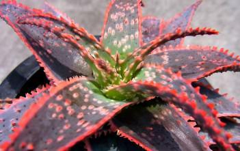 Aloe 'Christmas Carol'