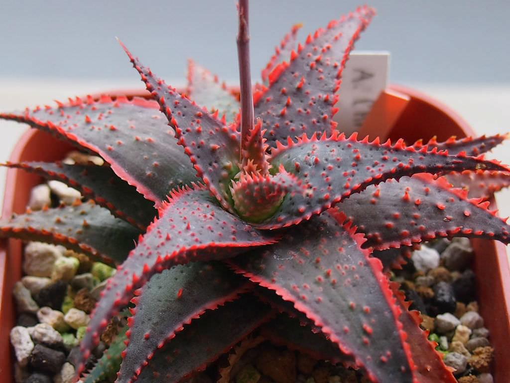 Aloe 'Christmas Carol'   World of Succulents