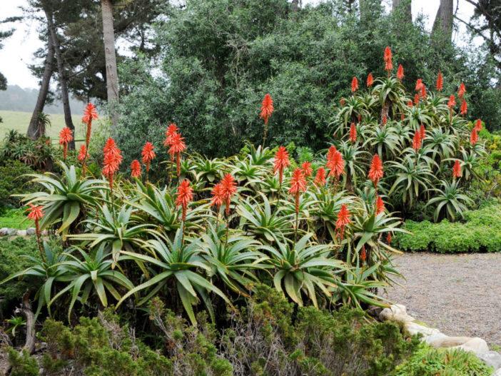 Grow and Care Aloe (Aloe arborescens)