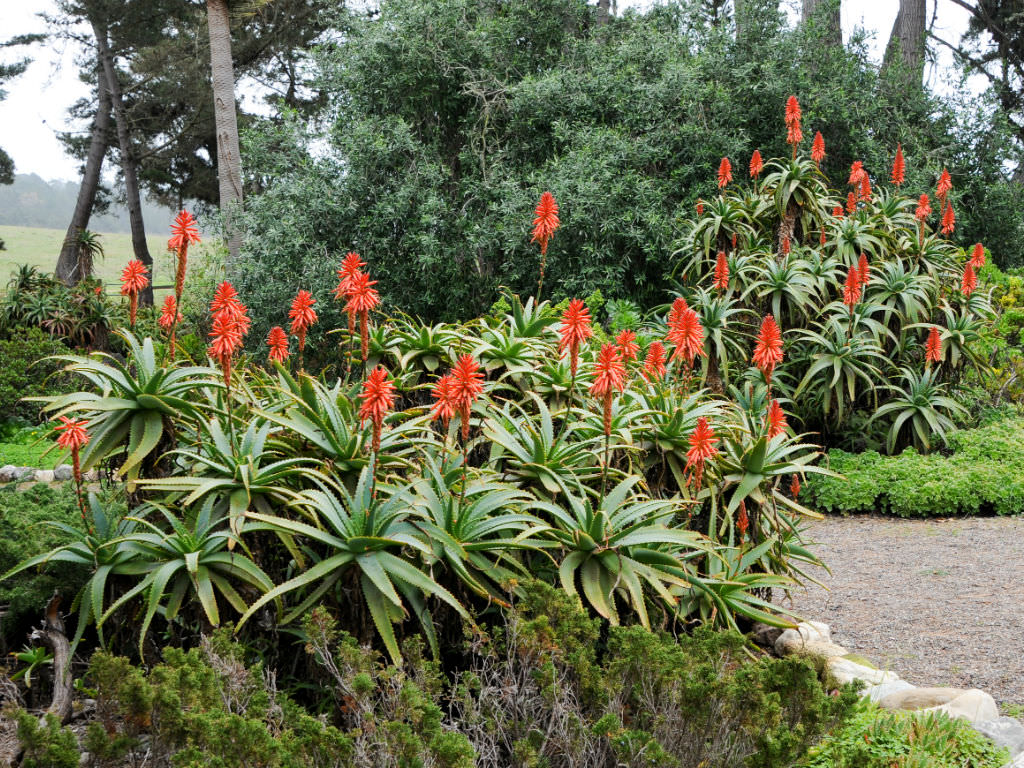 Grow and Care Aloe (Aloe arborescens)
