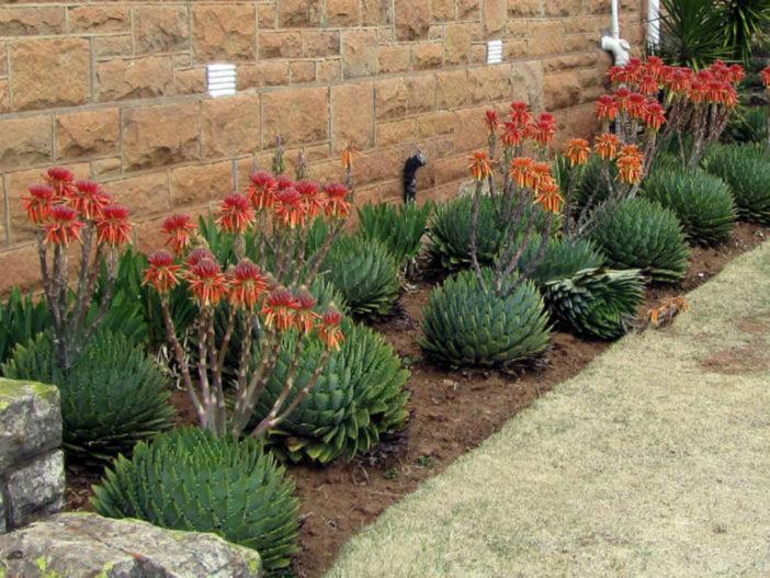 Grow and care Aloe (Aloe polyphylla)