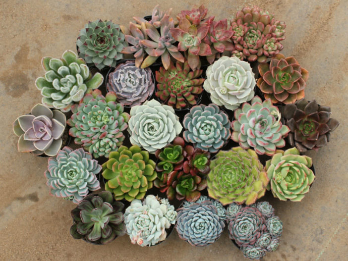 Grow and Care Echeveria