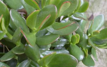 Jade Plant - Good Luck Symbol for Business