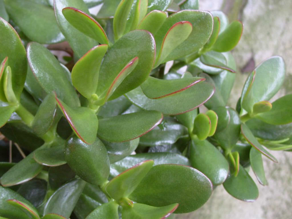 How To Bring Good Luck jade plant - good luck symbol for business | world of succulents