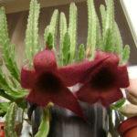 Stapelia grandiflora (Giant Toad Plant)
