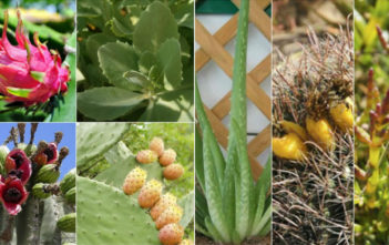 7 Healthy Edible Succulents