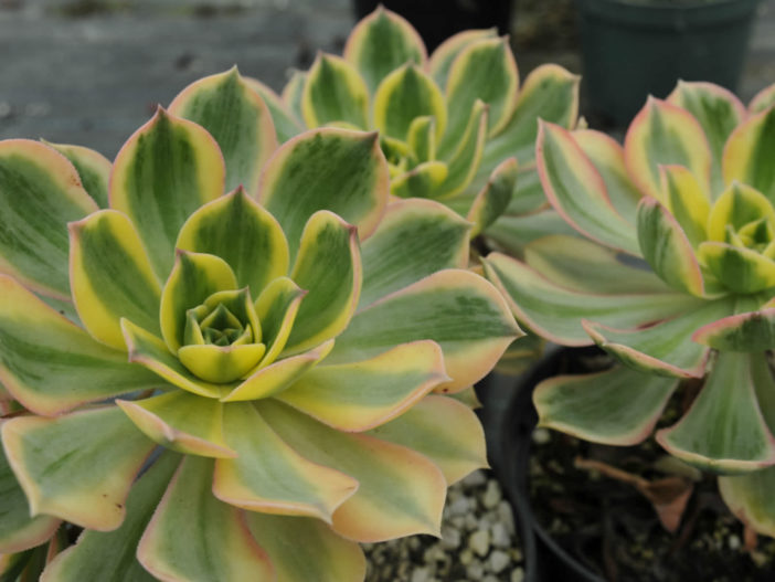 Aeonium 'Sunburst' (Copper Pinwheel)