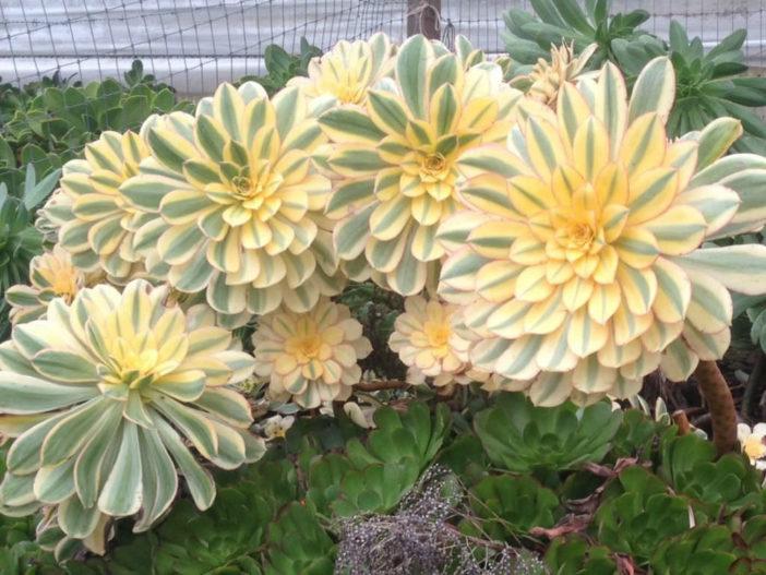 Grow and Care Aeonium (Aeonium 'Sunburst')