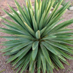 Agave angustifolia (Caribbean Agave)