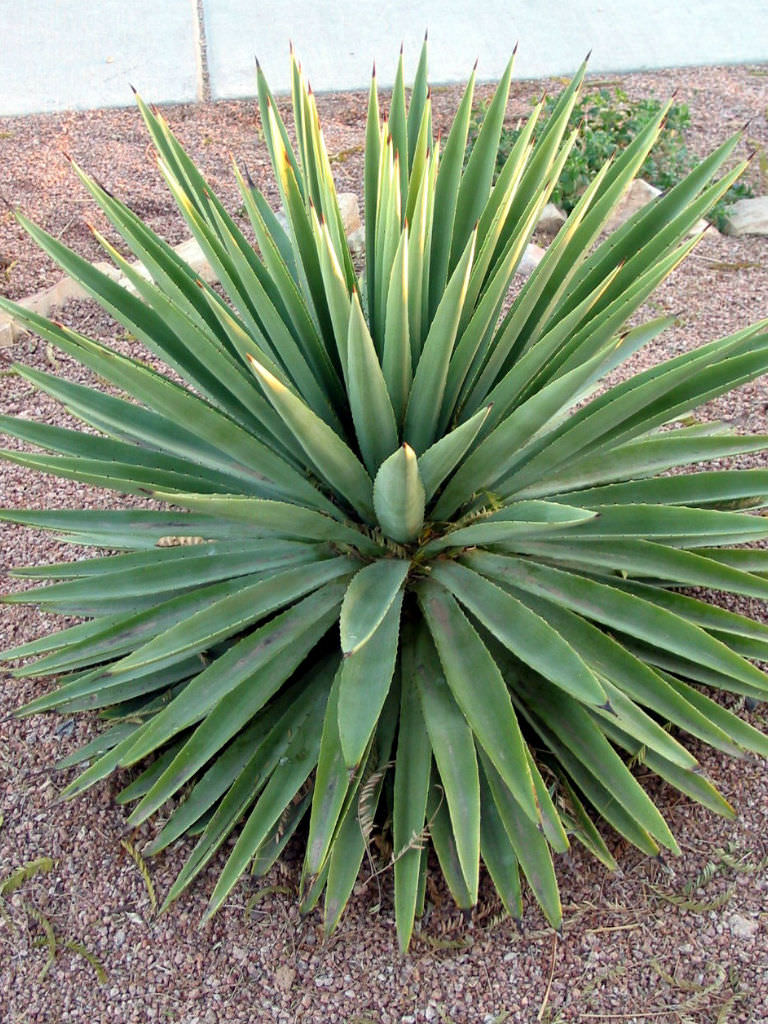 Agave Angustifolia Caribbean Agave World Of Succulents