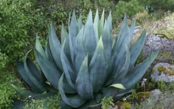 Agave atrovirens (Pulque Agave)