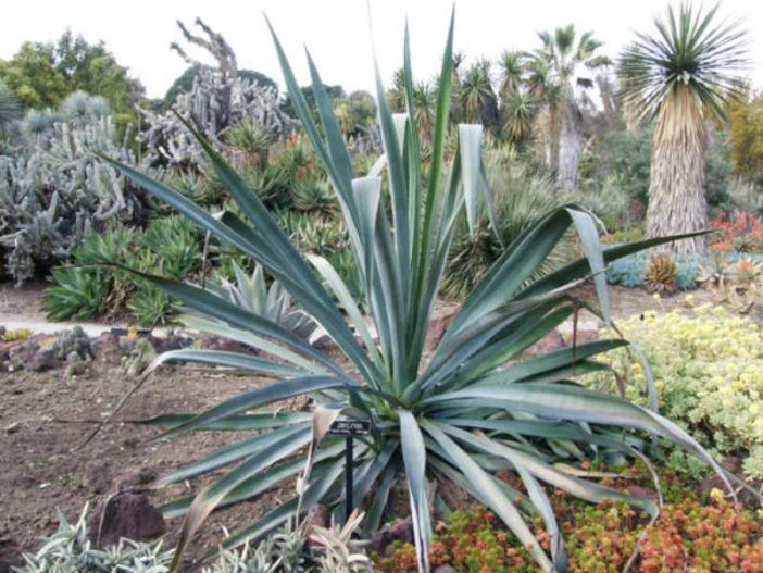Agave cantala (Bombay Aloe)