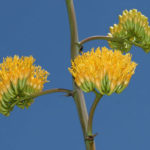 Agave chrysantha - Golden Flowered Century Plant