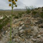 Agave deserti - Desert Agave