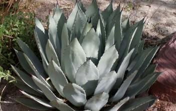 Agave palmeri - Palmer's Century Plant