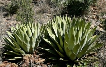 Agave parryi - Parry's Agave Mescal Agave