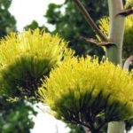 Agave salmiana - Pulque Agave Giant Agave