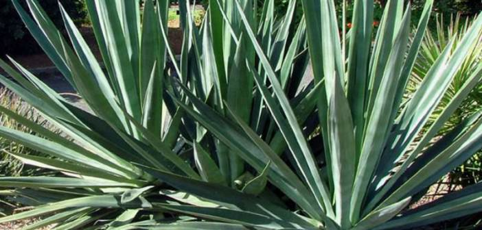 Agave sisalana (Sisal) | World of Succulents