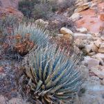Agave utahensis - Utah Agave