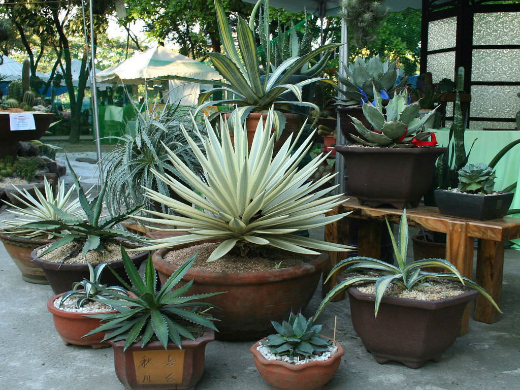 How To Grow And Care For Agave World Of Succulents