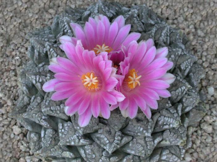 Traditional and Medicinal Uses of False Peyote (Ariocarpus fissuratus)