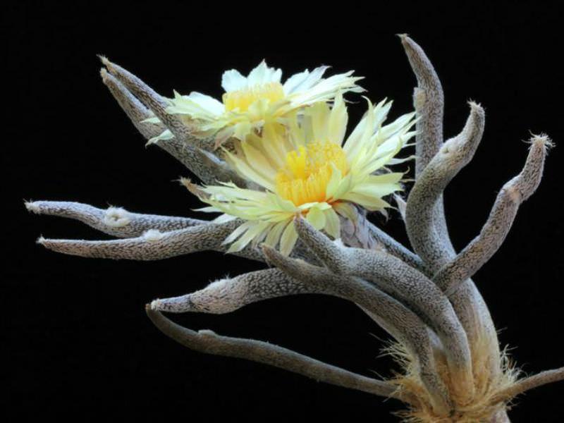Astrophytum caput-medusae - World of Succulents