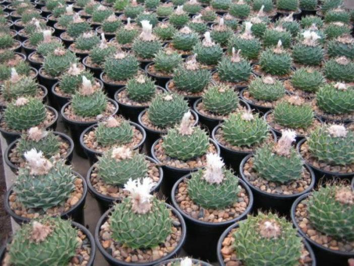 Atrichoke Cactus