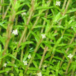 Crassula helmsii - Swamp Stonecrop