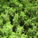 Crassula helmsii (Swamp Stonecrop)