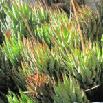 Haworthiopsis fasciata (Zebra Plant) aka Haworthia fasciata